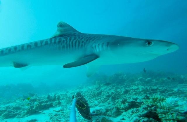 Shark conservation - screen shot of tiger shark